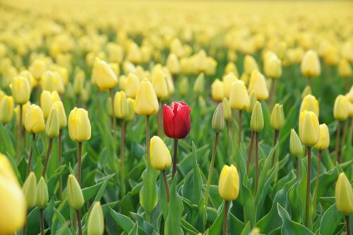 red flower in a field of yellow - being different while social media marketing